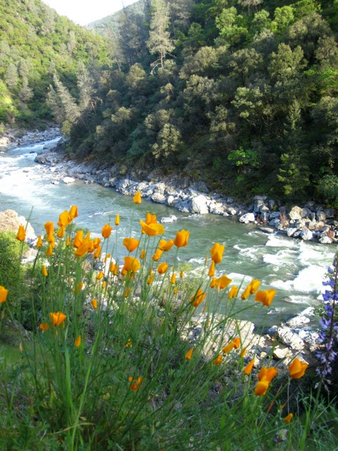 Spring Wildflowers on the Buttermilk Trail, Bridgeport Crossing in the South Yuba River State Park (photo by Abigail Limov)