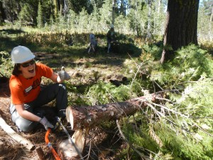 SYRCL volunteer removes an encroaching conifer in a threaten aspen stand