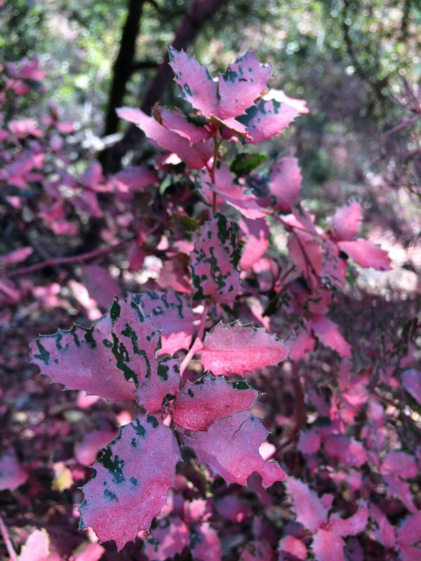 Remnants of fire retardant on dry foliage after the Yuba Fire by Edwards Crossing. Photo: Jenn Tamo